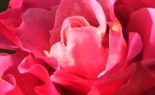 Roses for Spring!