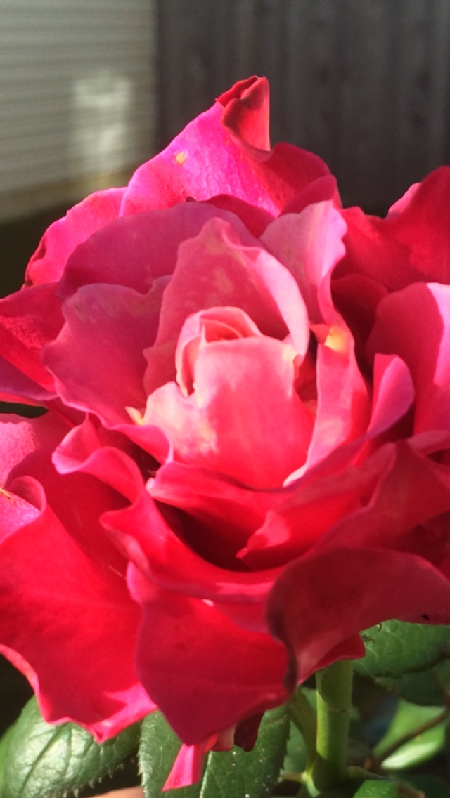 Beautiful Rose signifying SPRING