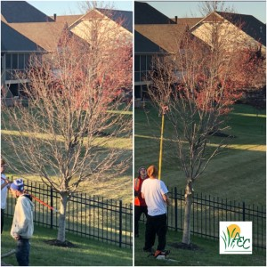 Aggressively Pruning a Sunset Maple in late fall, Fishers, IN by ACCLC