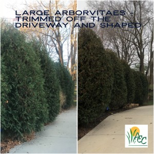 Cutting back and shaping large arborvitae in Noblesville